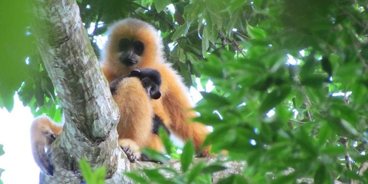 940g-Hainan-Gibbon_Nomascus-nasutus_hainanus-_c__Jessica-Bryant_WWF.jpg